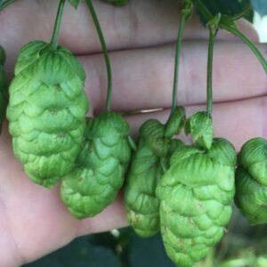Hop-bier